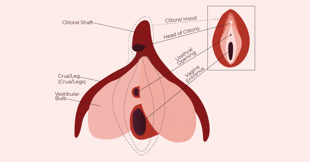 Clitoral Organ Diagram from The Cunnilinguist