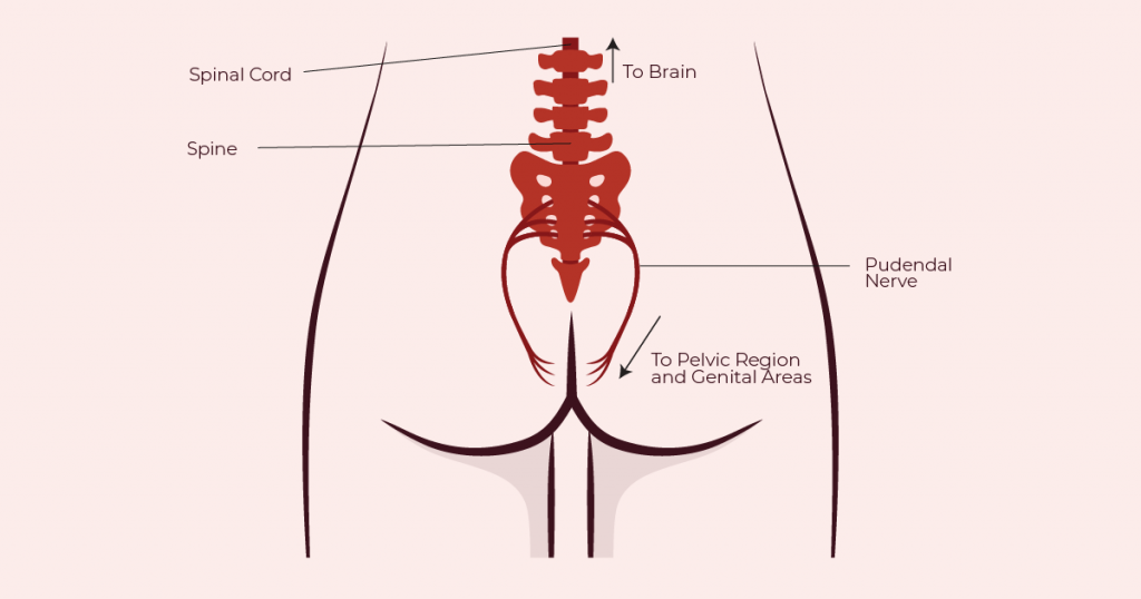 Spinal cord, central nervous system and pudendal nerve diagram